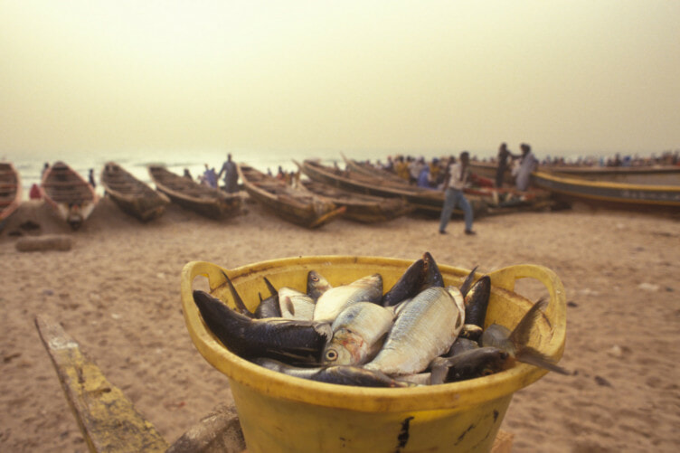 Freshly caught fish are laid out for sale on the beach at Nouakchott.The price of fresh fish fluctuates a lot over the year, as well as during the day. - - Integrated Development of Artisanal Fisheries (IDAF). The Programme for Integrated Development of Artisanal Fisheries in West Africa (IDAF), is run by the Food and Agriculture Organization of the United Nations (FAO).With headquarters in Cotonou, it is financed by the Danish International Development Agency (DANIDA) and the government of Norway. IDAF assists government departments and development agencies with the implementation of field projects that are identified, planned, and carried out with the full participation of the local population. Technical and organisational support is provided by nationally staffed Fisheries Development Units. The Programme disseminates information and organises training courses, workshops and seminars. Specialists and participants from associated countries, regularly meet to discuss ideas and strategies. Project activities may vary from improving boats and gear to providing drinking water and health care. The IDAF network covers all aspects of fisheries, including research and technology. By 1990, twenty countries from Mauritania to Angola, had taken part in the Programme.