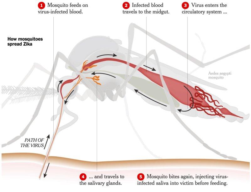 Zika Mode of Transmission