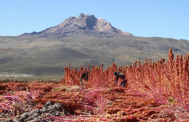 Thunupa_QuinoaField_Bolivia_AlterEco_fair trade