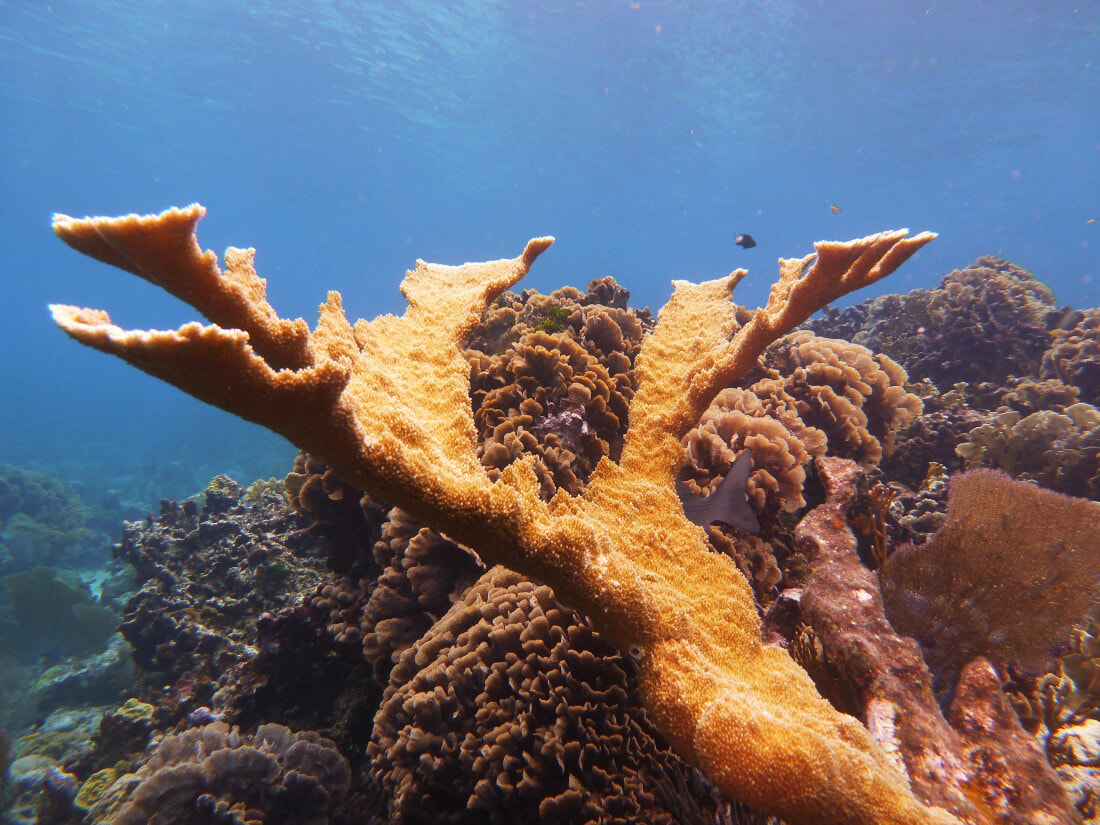 Acropora palmata_elkhorn coral_Roatan Honduras_© Noel Wingers