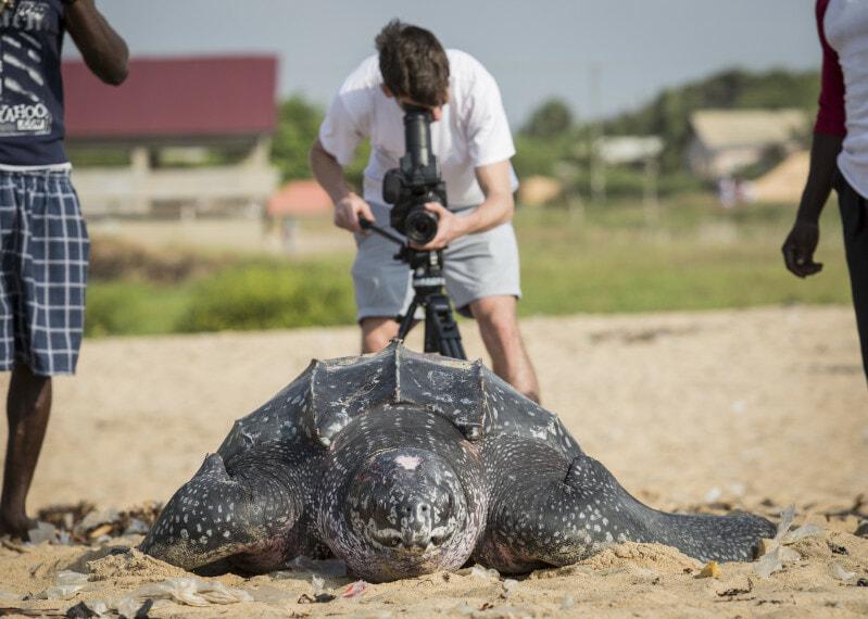 Ghana December 2014. Front view of a Leatherback turtle, near Dzita, Volta Region.