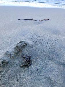 Loggerhead Sea Turtles.