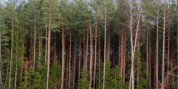 In the picture: Forest wall. Picture Credit: Kerttu