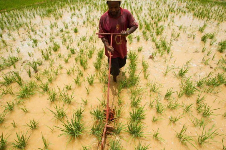A farmer in a rice field.