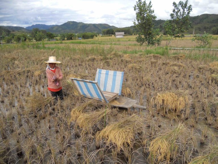 Harvest time in traditional rice fields in the Krayan Highlands