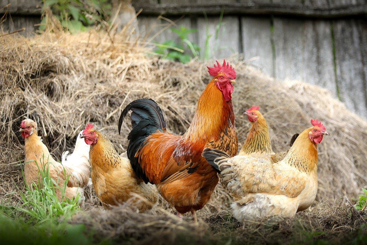 Poultry Agriculture