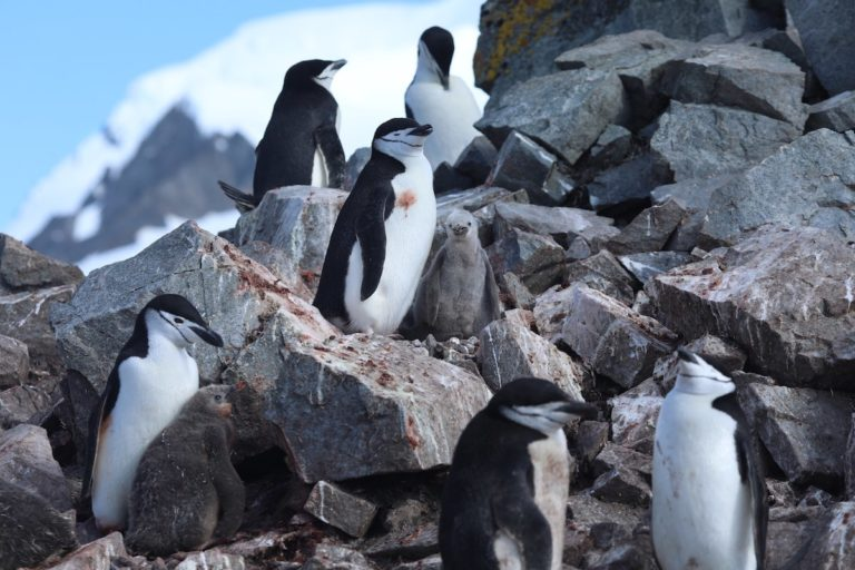 Some penguin species are adapting to warmer temperatures, while other populations are declining.
