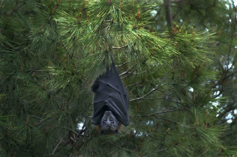 Bat hanging from a tree.
