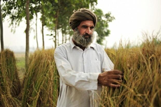 Rice farmer in Punjab, India.