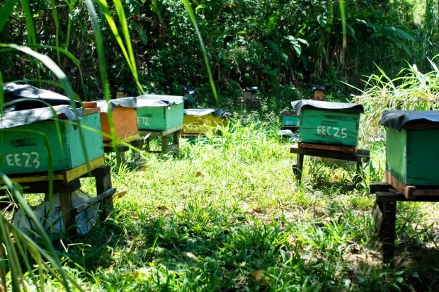 Everth and Selena Castro have common bees and some species of stingless wild bees on their ecofriendly farm in Nicaragua. Photo: G. Vuillermoz (Trocaire)