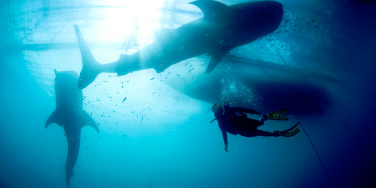 Whale shark (Rhincodon typus) with diver