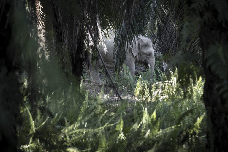 Bornean Elephant walking in Sabah Softwoods