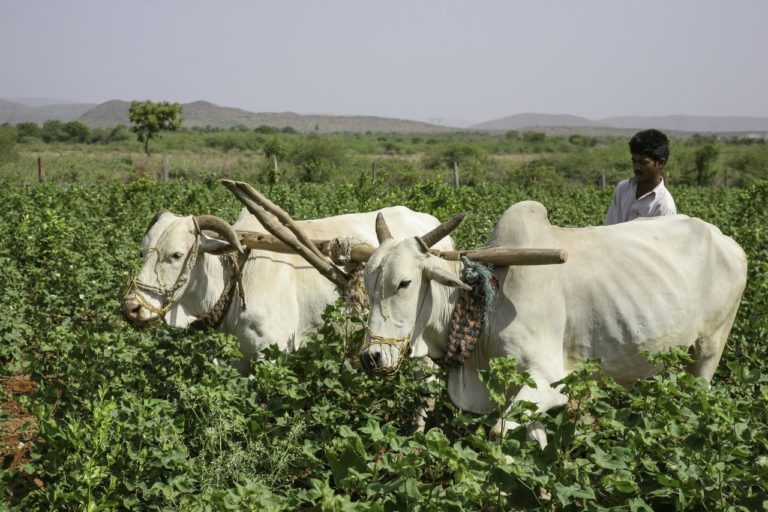 Indian Farmer Organic cotton