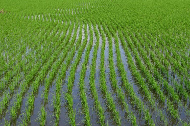 Scuba Rice Paddy
