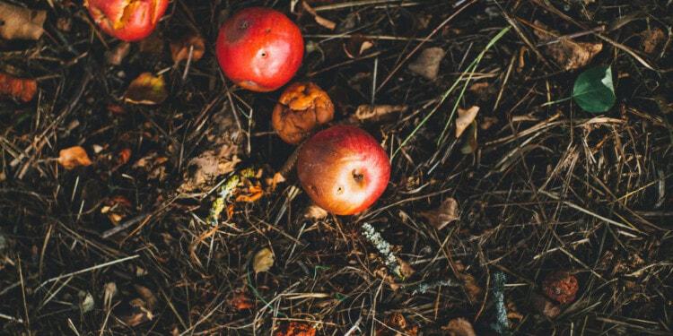 Rotting apples, food waste, food loss